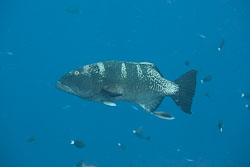 BD-150422-Maldives-7661-Plectropomus-laevis-(Lacepède.-1801)-[Blacksaddled-coralgrouper].jpg